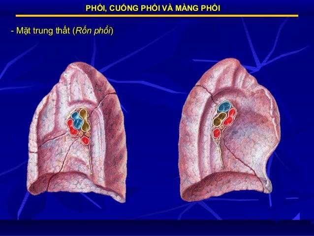PHỔI, CUỐNG PHỔI VÀ MÀNG PHỔI  - Mặt trung thất (Rốn phổi)