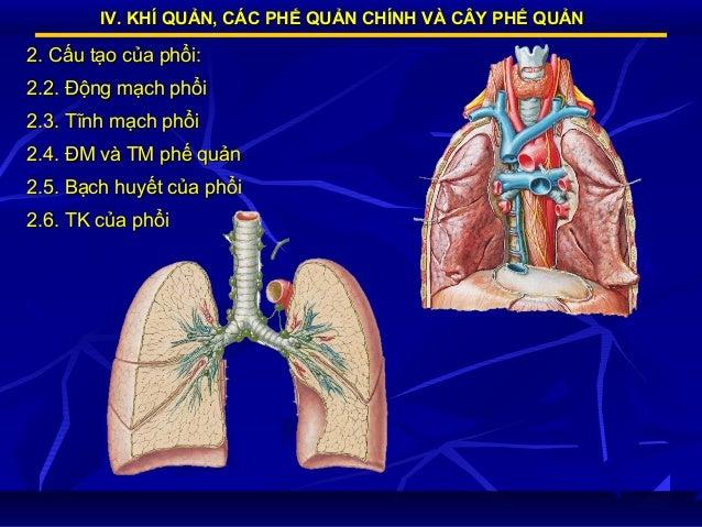 IV. KHÍ QUẢN, CÁC PHẾ QUẢN CHÍNH VÀ CÂY PHẾ QUẢN  2. Cấu tạo của phổi: 2.2. Động mạch phổi 2.3. Tĩnh mạch phổi 2.4. ĐM và ...
