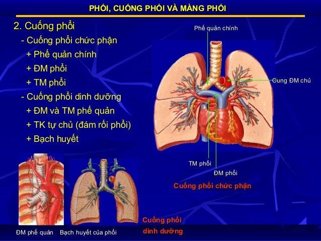 PHỔI, CUỐNG PHỔI VÀ MÀNG PHỔI  2. Cuống phổi  Phế quản chính  - Cuống phổi chức phận + Phế quản chính + ĐM phổi Cung ĐM ch...