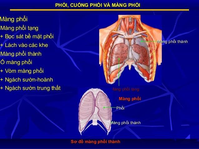 PHỔI, CUỐNG PHỔI VÀ MÀNG PHỔI  Màng phổi Màng phổi tạng + Bọc sát bề mặt phổi  Màng phổi thành  + Lách vào các khe Màng ph...