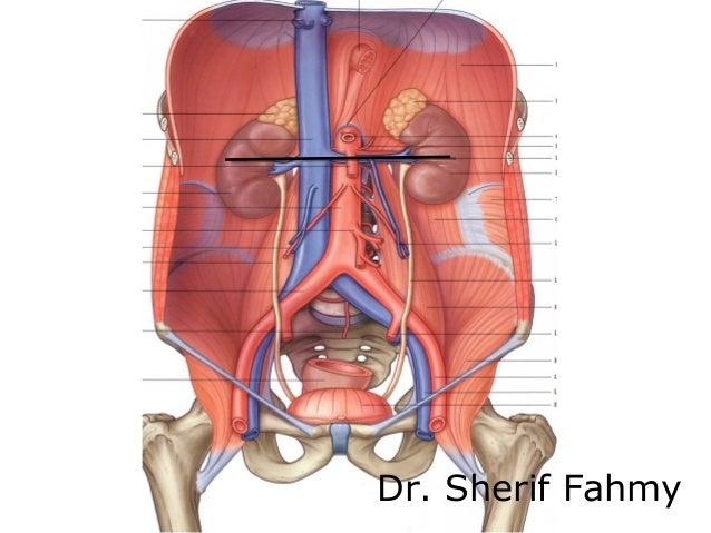 Diagram Of Abdomen And Kidneys - Electrical Work Wiring Diagram •