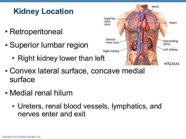Kidney Anat Online