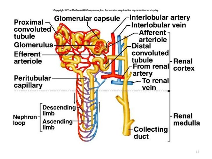 Kidney function 15 16 ccuart Images