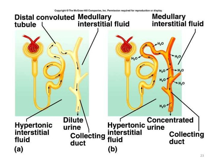 Kidney function 23 24 ccuart Images