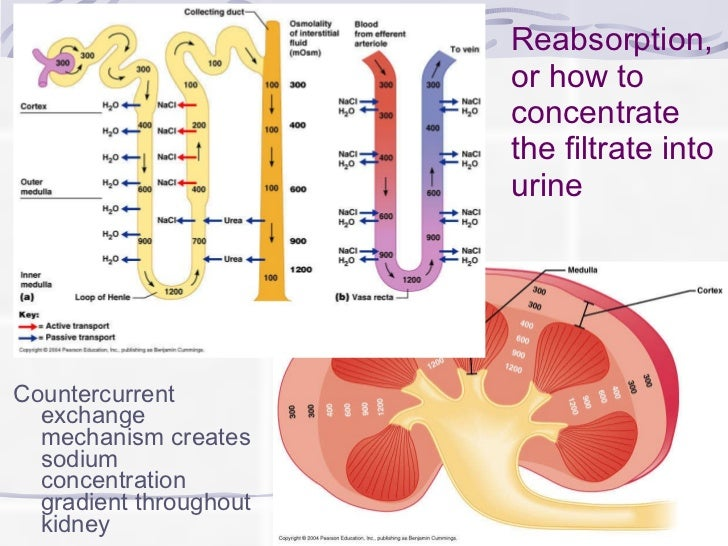 Kidney function and nephrons 9 ccuart Choice Image