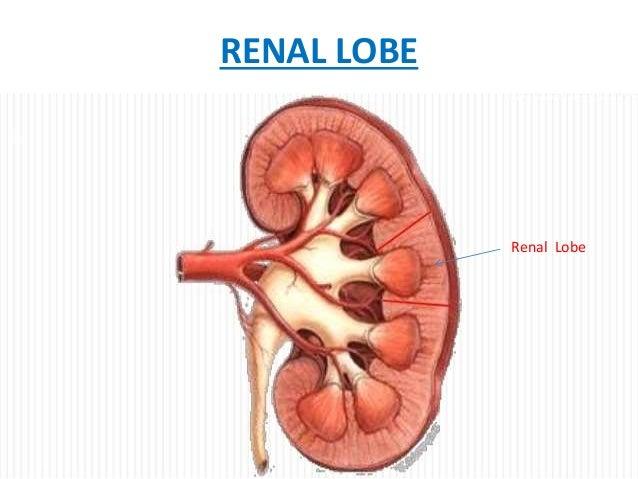 kidney histology, Human Body