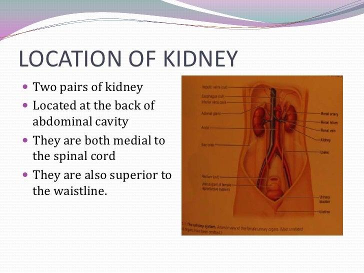 Kidney power point presentation toneelgroepblik Gallery