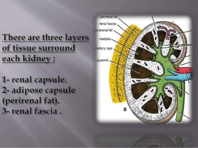 Renal Capsule Kidney sturctur...