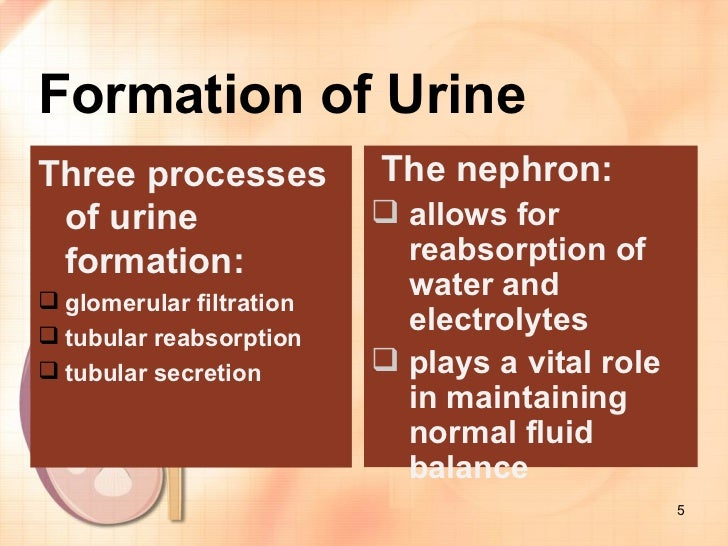 stages of urine formation The bladder stores urine until the body is ready to expel it through the urethra this process can be summarised in three important steps.