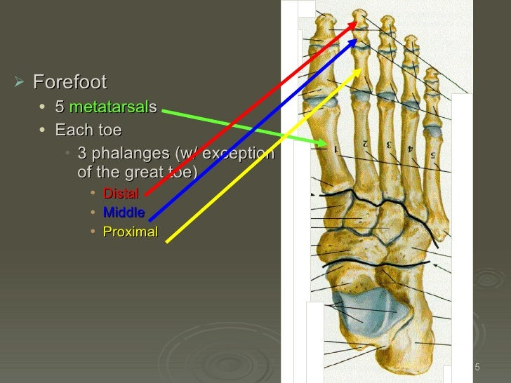 Kin191 A. Ch.4. Foot. Toes. Anatomy. Fall 2007
