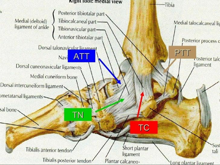 Kin191 A. Ch.5. Ankle. Lower Leg. Anatomy. Fall 2007