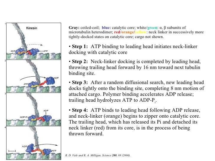 A possible mechanism for kinesin procession <ul><li>Gray :  coiled-coil;  blue:  catalytic core; white/ green :  α ,  β  s...