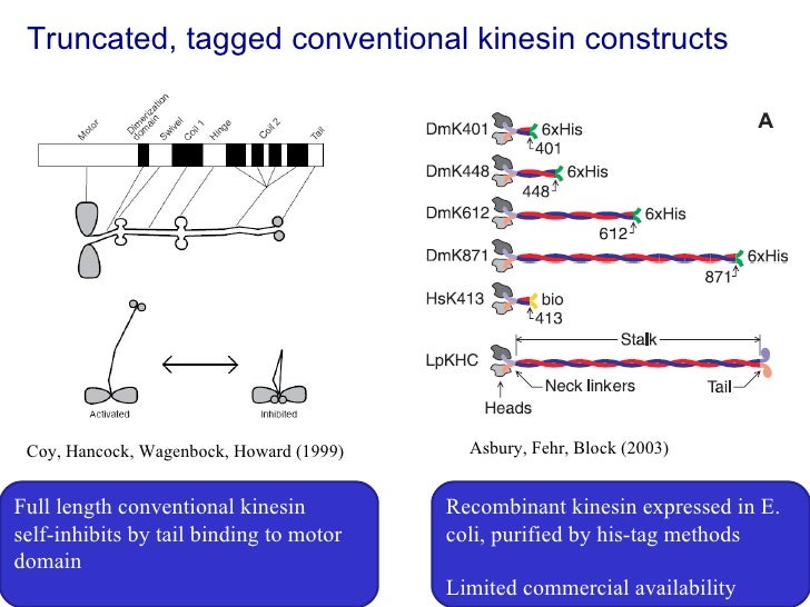 Truncated, tagged conventional kinesin constructs Coy, Hancock, Wagenbock, Howard (1999) Full length conventional kinesin ...