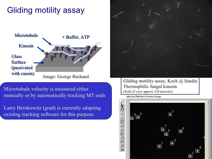 Gliding motility assay Kinesin Microtubule Glass Surface (passivated with casein) + Buffer, ATP Gliding motility assay, Ko...