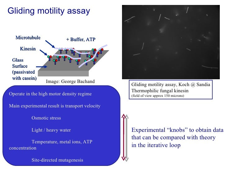 Gliding motility assay Kinesin Microtubule Glass Surface (passivated with casein) + Buffer, ATP Operate in the high motor ...