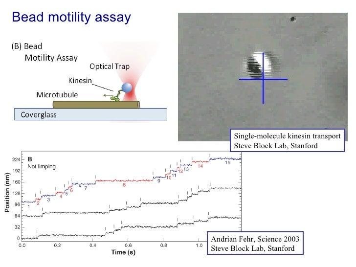Bead motility assay Andrian Fehr, Science 2003 Steve Block Lab, Stanford Single-molecule kinesin transport Steve Block Lab...