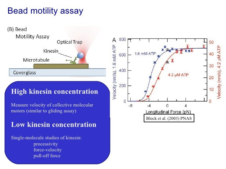 Bead motility assay High kinesin concentration Measure velocity of collective molecular motors (similar to gliding assay) ...