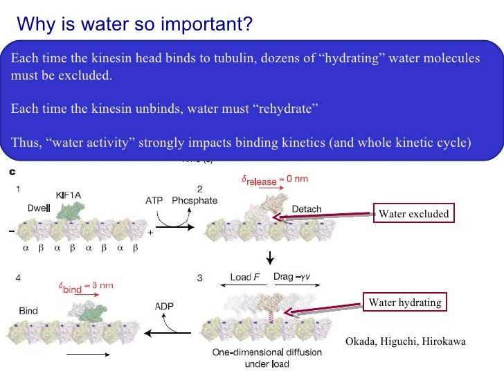 """Why is water so important? Each time the kinesin head binds to tubulin, dozens of """"hydrating"""" water molecules must be excl..."""
