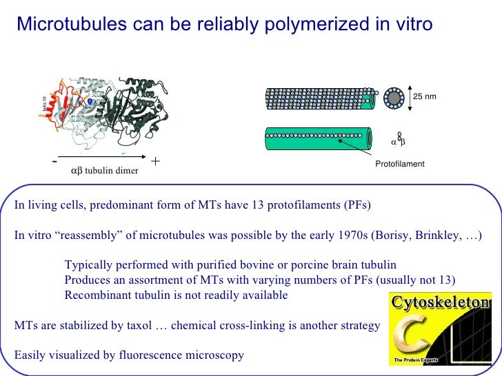 Microtubules can be reliably polymerized in vitro  In living cells, predominant form of MTs have 13 protofilaments (PFs) I...