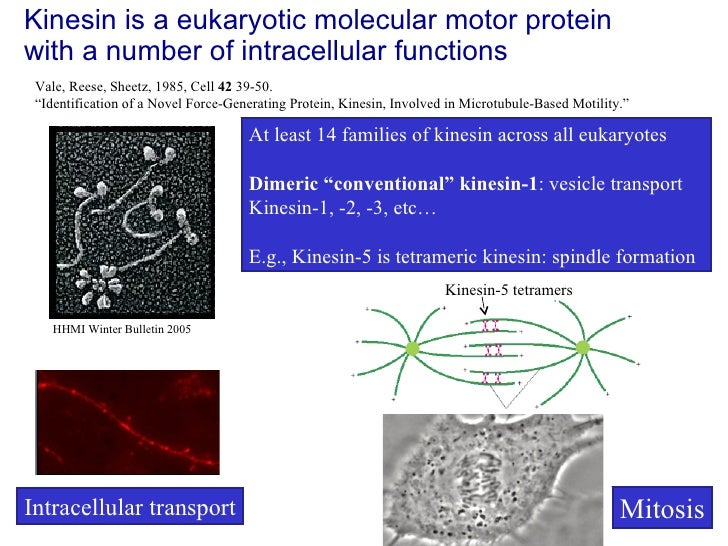 Kinesin is a eukaryotic molecular motor protein with a number of intracellular functions Mitosis Intracellular transport V...