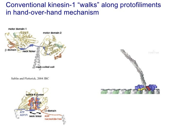 """Conventional kinesin-1 """"walks"""" along protofiliments  in hand-over-hand mechanism Sablin and Fletterick, 2004 JBC"""