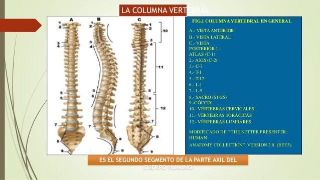 Kinesiologia columna-vertebral