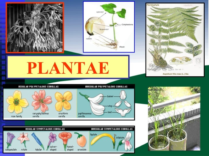 Kingdom Plantae Pdf