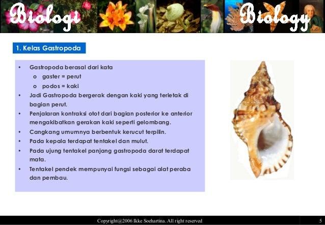 Kingdom animalia invertebrata- mollusca