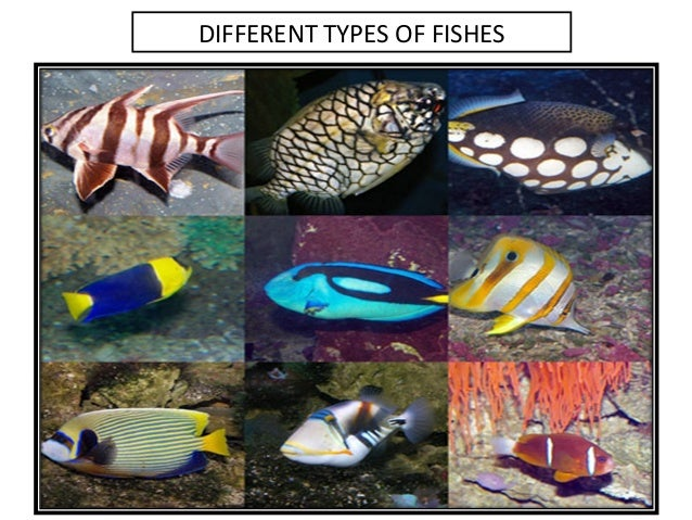 Examples Different Types Of Fishes 26 Cool Galapagos Kingdom Animalia By Louie