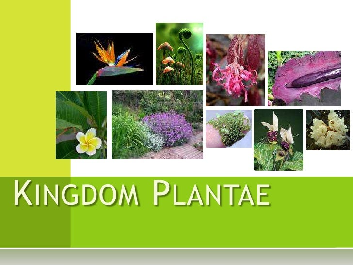 a description of any member of the plant kingdom The nine divsions of the plant kingdom 4 divisions of seedless plants: bryophyta (mosses and liverworts) - 20,000 species sphenophyta (horsetails) - 15 species lycophyta (club mosses) - 1,000 species pterophyta (ferns.