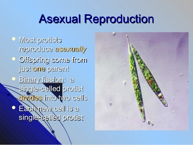 Protists reproduce asexually by cell division or