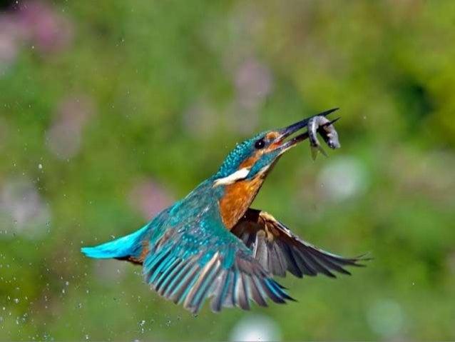 Kingfisher (v.m.)