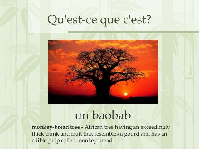 Qu'est-ce que c'est? un baobab monkey-bread tree - African tree having an exceedingly thick trunk and fruit that resembles...