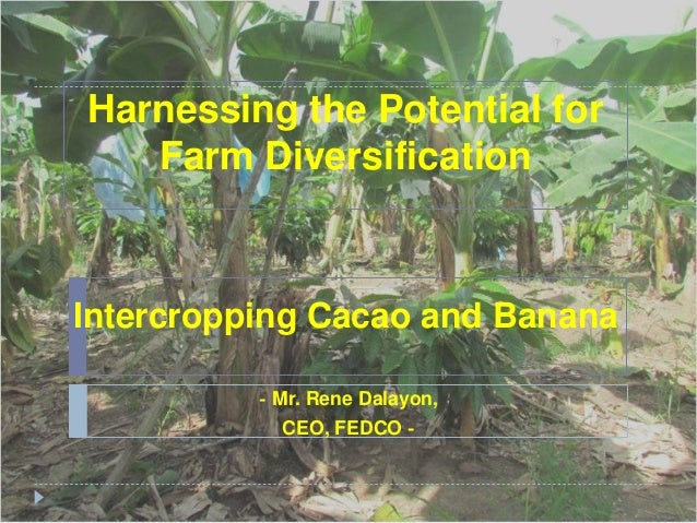 Harnessing the Potential for   Farm DiversificationIntercropping Cacao and Banana          - Mr. Rene Dalayon,            ...
