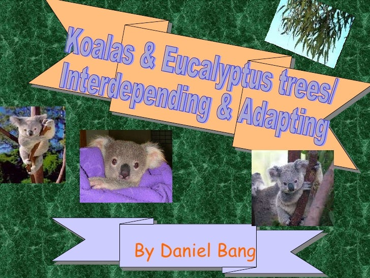By Daniel Bang Koalas & Eucalyptus trees/ Interdepending & Adapting