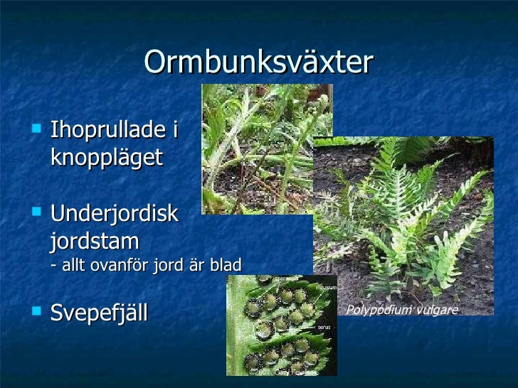 Ormbunksväxter <ul><li>Ihoprullade i knoppläget </li></ul><ul><li>Underjordisk jordstam - allt ovanför jord är blad </li><...