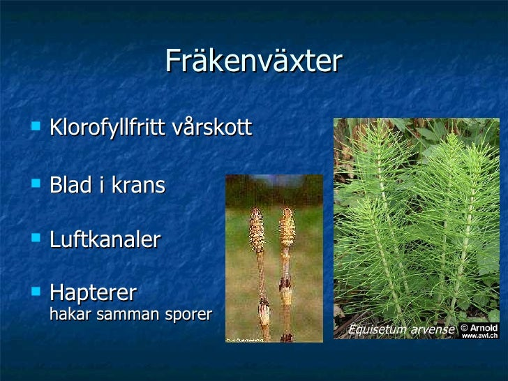 Fräkenväxter <ul><li>Klorofyllfritt vårskott </li></ul><ul><li>Blad i krans  </li></ul><ul><li>Luftkanaler </li></ul><ul><...