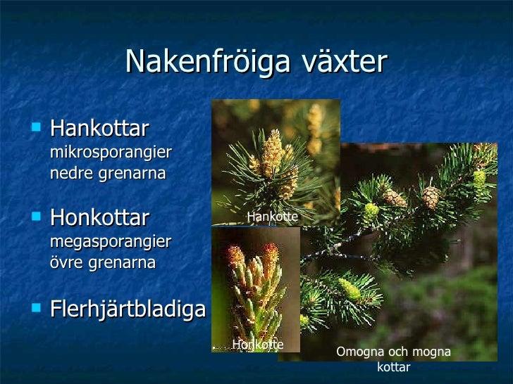 Nakenfröiga växter <ul><li>Hankottar  mikrosporangier nedre grenarna </li></ul><ul><li>Honkottar megasporangier övre grena...