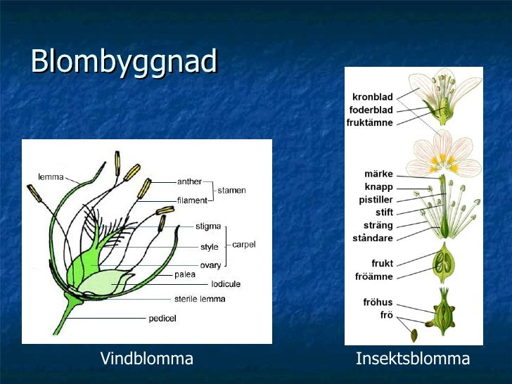 Blombyggnad Vindblomma Insektsblomma