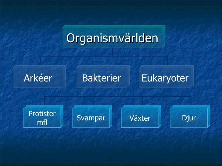 Organismvärlden Arkéer Bakterier Eukaryoter Protister mfl Svampar Växter Djur