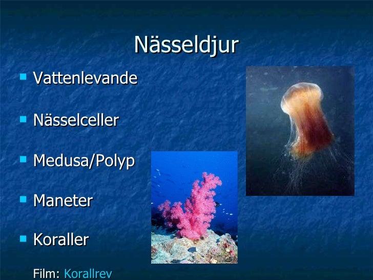 Nässeldjur <ul><li>Vattenlevande </li></ul><ul><li>Nässelceller </li></ul><ul><li>Medusa/Polyp </li></ul><ul><li>Maneter <...