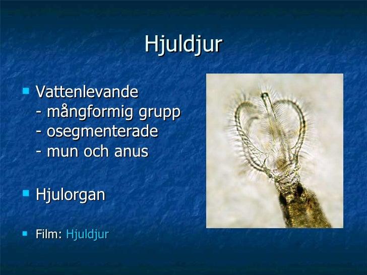 Hjuldjur <ul><li>Vattenlevande - mångformig grupp - osegmenterade - mun och anus </li></ul><ul><li>Hjulorgan </li></ul><ul...
