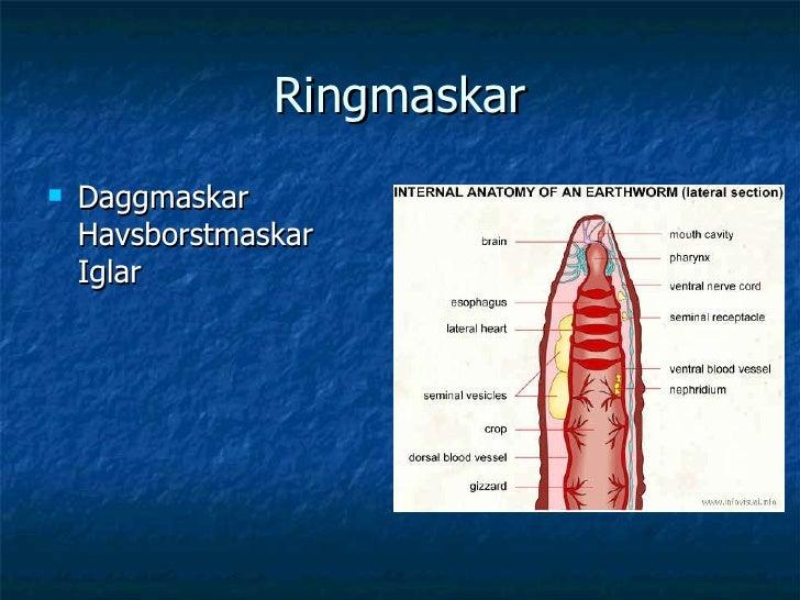 Ringmaskar <ul><li>Daggmaskar Havsborstmaskar Iglar </li></ul>