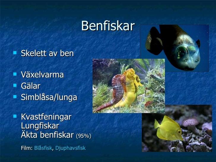 Benfiskar <ul><li>Skelett av ben </li></ul><ul><li>Växelvarma </li></ul><ul><li>Gälar </li></ul><ul><li>Simblåsa/lunga </l...