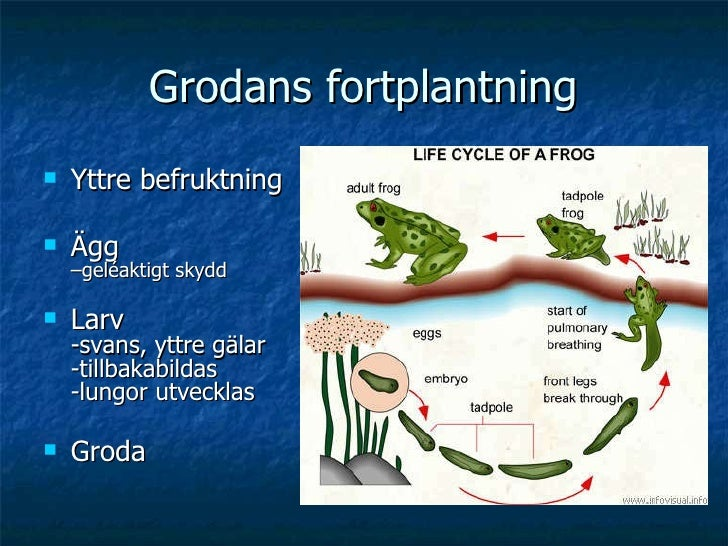 Grodans fortplantning <ul><li>Yttre befruktning </li></ul><ul><li>Ägg  –geléaktigt skydd </li></ul><ul><li>Larv -svans, yt...