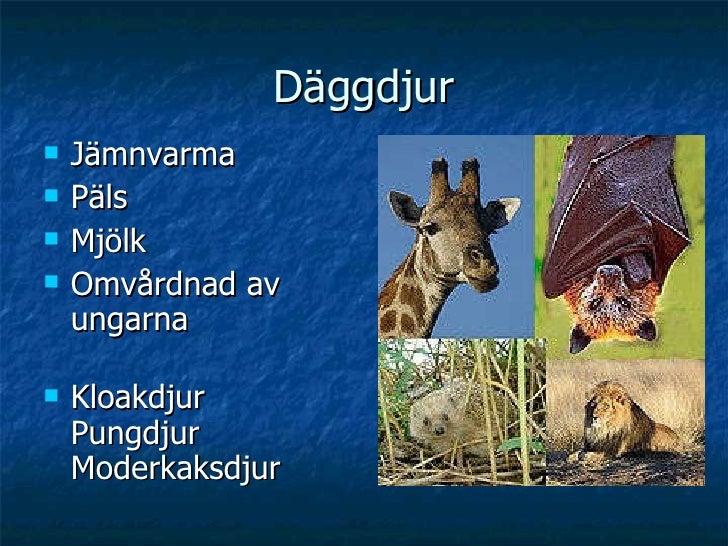Däggdjur <ul><li>Jämnvarma </li></ul><ul><li>Päls </li></ul><ul><li>Mjölk </li></ul><ul><li>Omvårdnad av ungarna </li></ul...