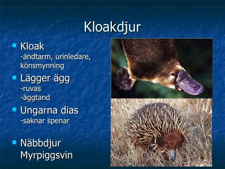 Kloakdjur <ul><li>Kloak -ändtarm, urinledare, könsmynning </li></ul><ul><li>Lägger ägg  -ruvas -äggtand </li></ul><ul><li>...