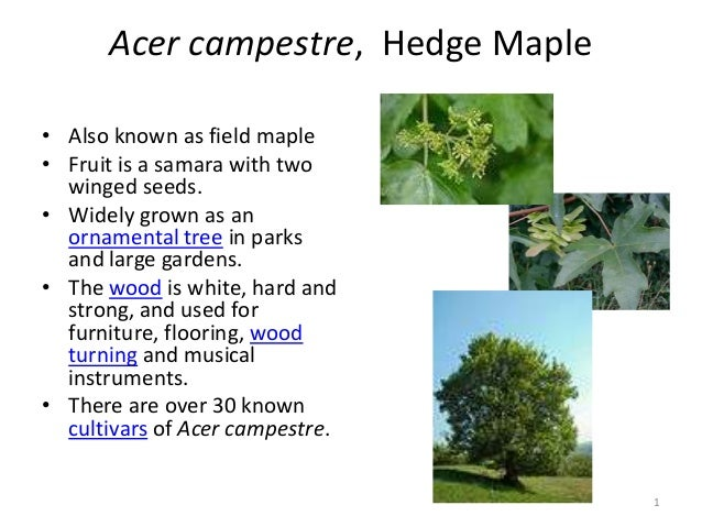 Acer campestre, Hedge Maple • Also known as field maple • Fruit is a samara with two winged seeds. • Widely grown as an or...