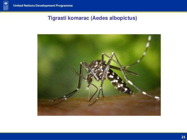 Tigrasti komarac (Aedes albopictus)                                      21