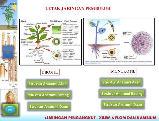 Anatomi Tumbuhan Jaringan Pengangkut